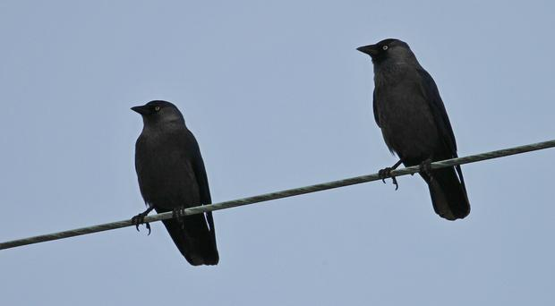 Mob mentality rules jackdaw flocks, a study suggests (Alan McCarthy/PA)