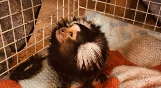 The marmoset was rescued after being kept in a bird cage (RSPCA/PA)