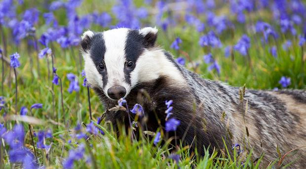 Scientists have been working to understand whether badger vaccination could be used to reduce the infection of TB in the UK's badger population (Seth Jackson/PA)