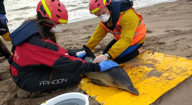 Dolphins rescued from a beach in Scotland (Maritime and Coastguard Agency/PA)
