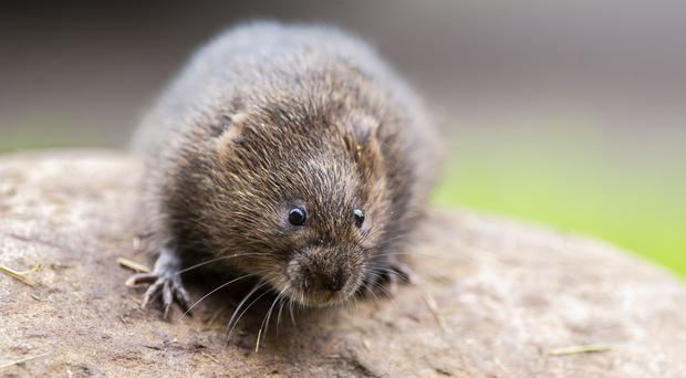 The scheme is set to help wildlife such as water voles (National Trust Images/Steve Haywood/PA)
