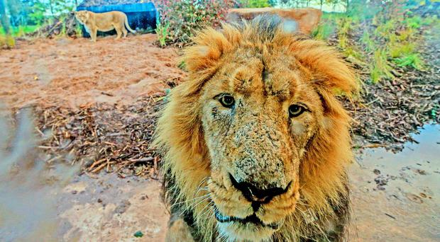 Iblis, a male Asiatic Lion, walks around the new lion habitat at Chester Zoo, Cheshire (Peter Byrne/PA Wire).