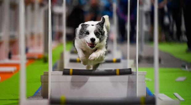 Dogs tackle the fly-ball course at the National Pet Show at the NEC, Birmingham (Jacob King/PA)