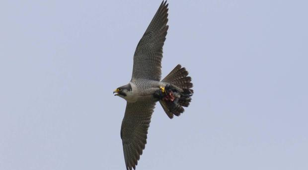 Undated RSPB handout photo of a Peregrine falcon in flight. (Sue Tranter/PA)