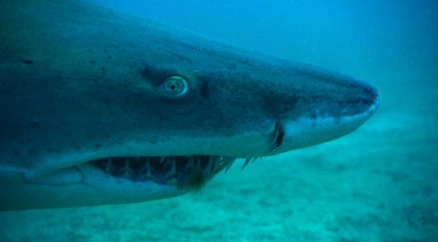 The remains of a Scottish man have been found in a tiger shark in the French overseas territory of Reunion (National Geographic Channels/ T3/PA)