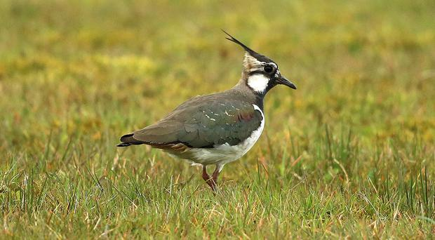 Farmland birds including lapwings have seen populations decrease significantly in the past 50 years (Niall Carson/PA)