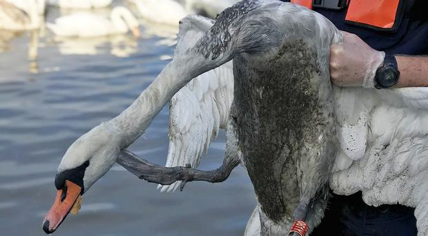 A swan covered in oil (RSPCA/PA)