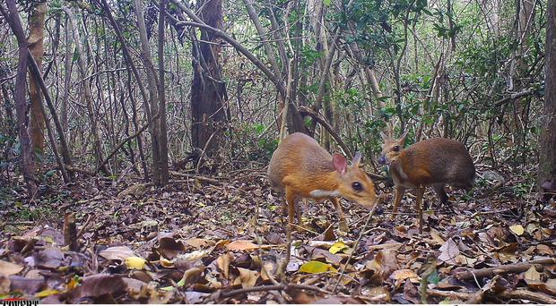 Some miniature fanged 'deer' have been rediscovered tiptoeing through Vietnam (SIE/GWC/Leibniz-IZW /NCNP/PA)