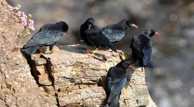A study has indicated that crows living in large social groups are healthier than those with fewer social interactions. (PA)