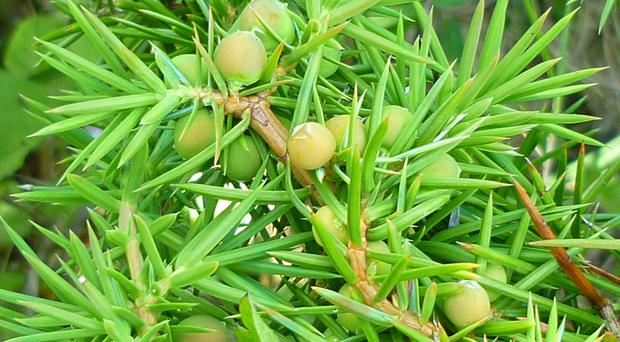 Juniper is used to flavour gin (Cath Shellswell/Plantlife/PA)
