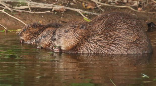 Beavers are being released into enclosures on two National Trust sites (Mike Symes/Devon Wildlife Trust/PA)