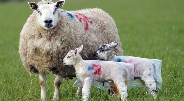 The parasite was detected in the blood of a large number of sheep, in north-east Scotland (Owen Humphreys/PA)