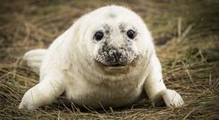 Seal pup at Donna Nook National Nature Reserve in Lincolnshire (Danny Lawson/PA)