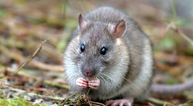 Rat infestations across Northern Ireland have surged to unprecedented levels, as pest controllers report the highest number of callouts for vermin-infested households in a decade
