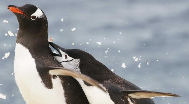 A study looks at the impact of krill availability on Antarctic penguins (Jim Wilson/PA)