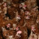 Bird flu has been found at a chicken farm in Suffolk (Joe Giddens/PA)