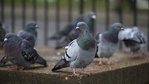 Scientists looked into the behaviour of pigeon flocks (Jonathan Brady/PA)