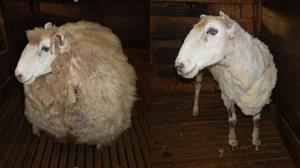 A sheep found abandoned in Australia was estimated to have been unshorn for about four years (RSPCA Victoria/PA)