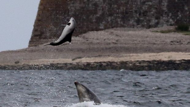 A bottlenose dolphin tossing a harbour porpoise in the Moray Firth (PA/Alister Kemp)