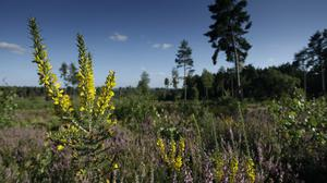 Farnham Heath RSPB reserve in Surrey is one of the successful reintroduction sites (Andy Hay/RSPB/PA)