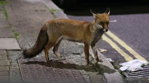 The analysis tested the differences of the various species of foxes (Yui Mok/PA)