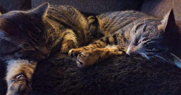 Cats Chas and Dave have been reunited 16 months after Dave went missing from his home in Watlington, Norfolk. (Cats Protection/ PA)