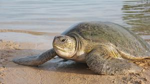 The sex of turtle hatchlings is determined by temperature (University of Exeter/PA) (University of Exeter/PA).