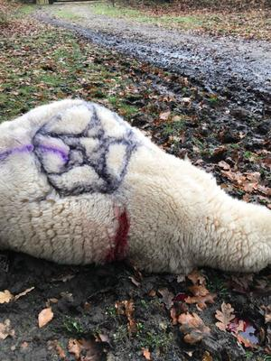 Occult symbols painted of killed ewe in the New Forest. Photo credit: PA Wire
