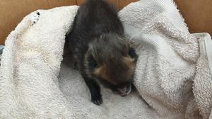 A fox cub was mistaken for a puppy when it was found on a building site in Speke, Merseyside (RSPCA/PA)