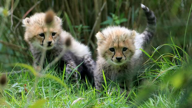 Cheetahs born in the UK are to be sent to Africa and released in the wild (Gareth Fuller/PA)
