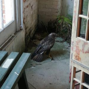 A buzzard was spotted in the Orangery at Felbrigg, Norfolk (National Trust/PA)