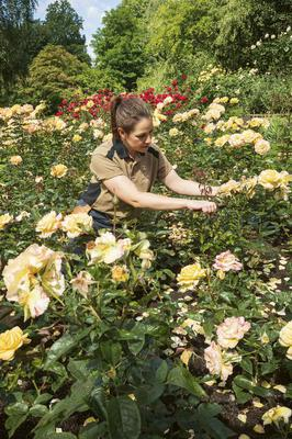 A member of the royal gardening team deadheading roses in the Rose Garden (Royal Collection Trust/ Her Majesty Queen Elizabeth II 2021/PA)
