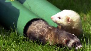 Researchers say ferrets could help in the development of coronavirus treatments and vaccines (John Giles/PA)