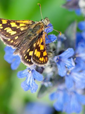 Chequered skippers have been brought from Belgium to the release site (Adam Gor/Butterfly Conservation/PA)
