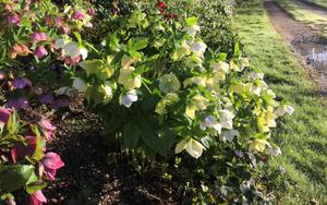 Anne's image of Hellebores (Buckingham Palace/PA)