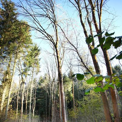 An outbreak of the infection caused has been confirmed in trees at Castlewellan Forest Park, Co Down