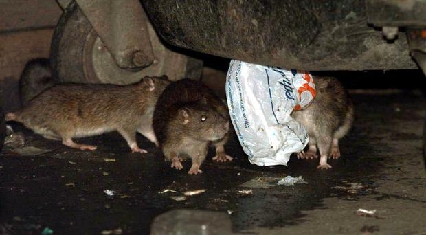 The study found rats like to help each other out (PA)