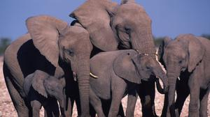 An African elephant family group drinking at a water hole. Global wildlife populations have declined by more than two thirds in less than 50 years, a new report has warned (WWF/Martin Harvey/PA)