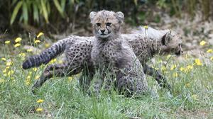 Two of four 11-week old cheetah cubs which were born at Colchester Zoo (Kirsty O'Connor/PA)