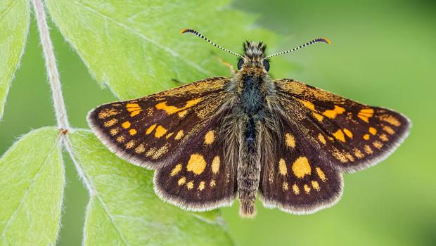 Chequered skipper butterflies are being reintroduced to England (Adam Gor/Butterfly Conservation/PA)