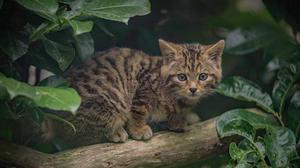 A rare Scottish wildcat kitten that has been born at the attraction (Chester Zoo/PA)