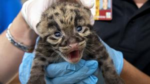A newborn clouded leopard is held by a staff member for their neonatal exams at the zoo in Miami (Ron Magill/ZooMiami via AP)