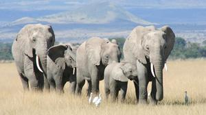 African elephants in Tanzania have seen numbers crash due to poaching