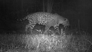 The monitoring reveals jaguar numbers may have doubled in the region (Camera Trap Proyecto Yaguarete/PA)