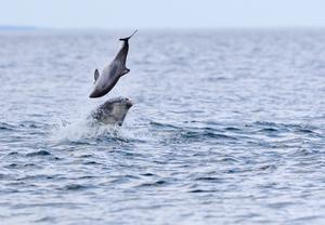 A bottlenose dolphin tossing a harbour porpoise up in the air at Chanonry Point in the Moray Firth (Jamie Muny/PA)
