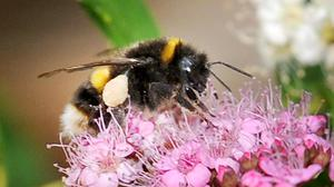 Conservationists have warned that 9.2% of bees across Europe are threatened with extinction