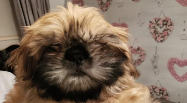 Shih Tzu puppy Joy, who had to be rescued by fire crews after getting trapped in a reclining sofa (Merseyside Fire and Rescue Service/PA)