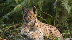 The Government has turned down a bid to reintroduce lynx to Kielder Forest (Neville Buck/Lynx UK Trust/PA)