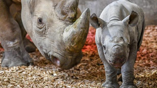 A baby male eastern black rhinoceros inside its enclosure with first-time mum Dakima, at Folly Farm, Pembrokeshire, Wales (Ben Birchall/PA)