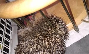 The hedgehog was trapped in decorative wires (RSPCA/PA)